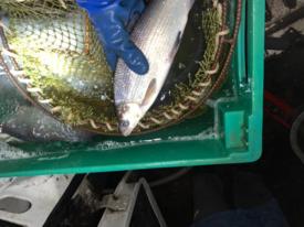 Товарная живая рыба